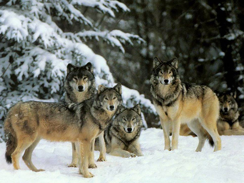 Волки дали урок любви людям