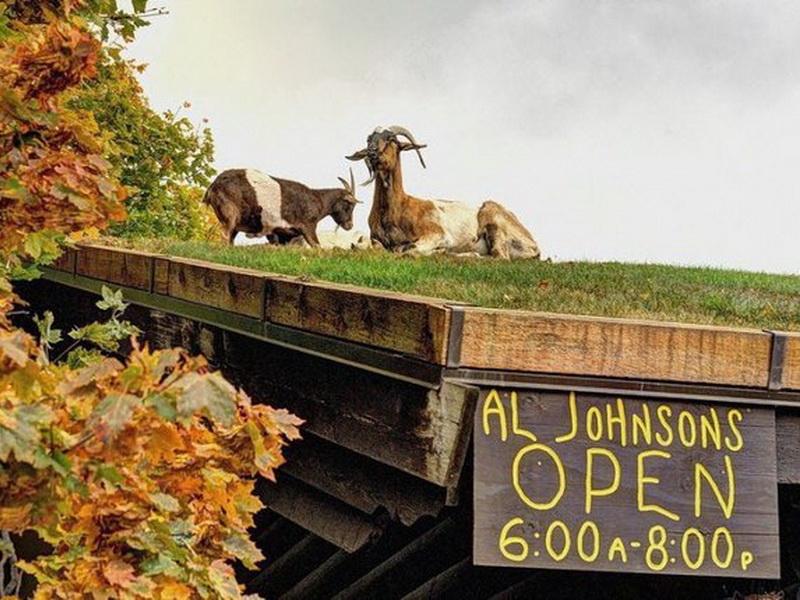 Ресторан в американской деревне с козами на крыше