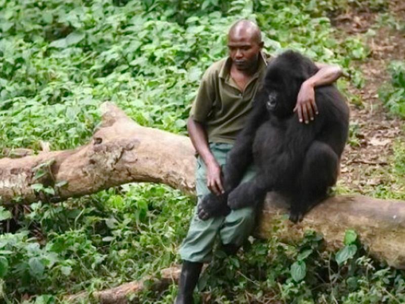 «Я с тобой, маленький». Чуткий смотритель не смог пройти мимо горя малыша-гориллы
