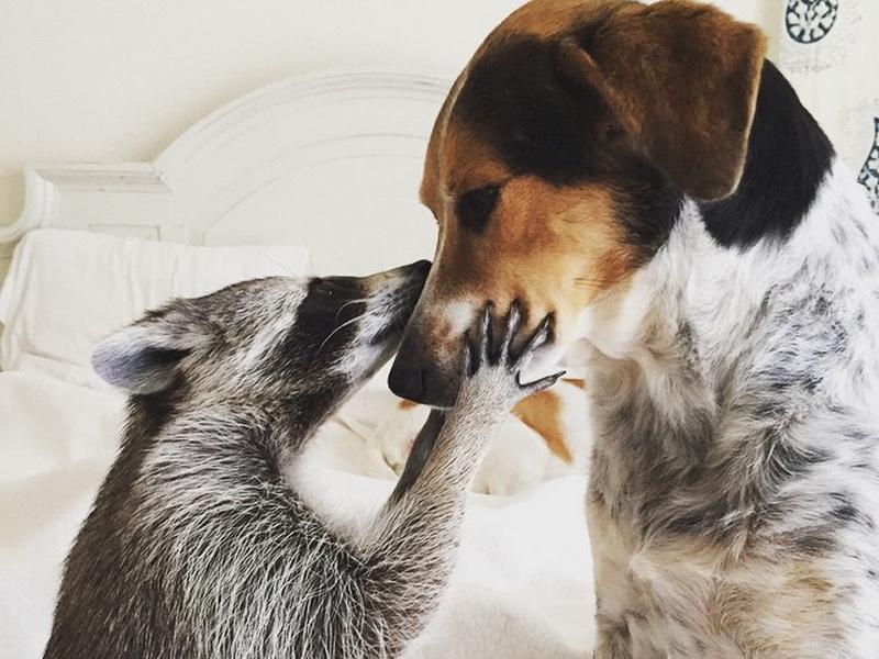 Енот-сирота, спасенный семьей с собаками, теперь тоже считает себя собакой