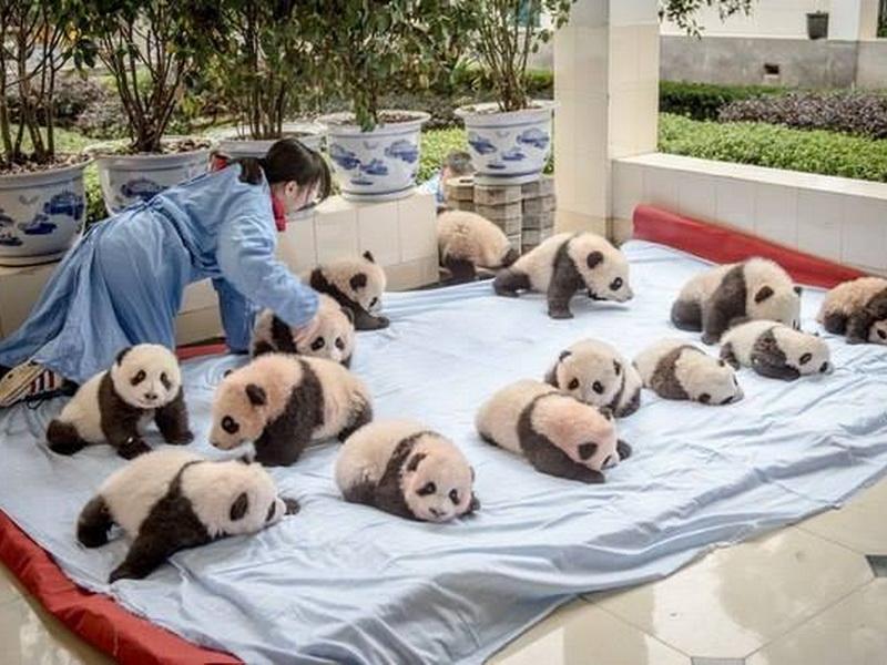 Детский сад для панд — самое милое место на планете!