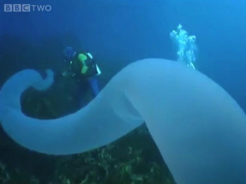 Пиросомы — самые странные существа подводного мира