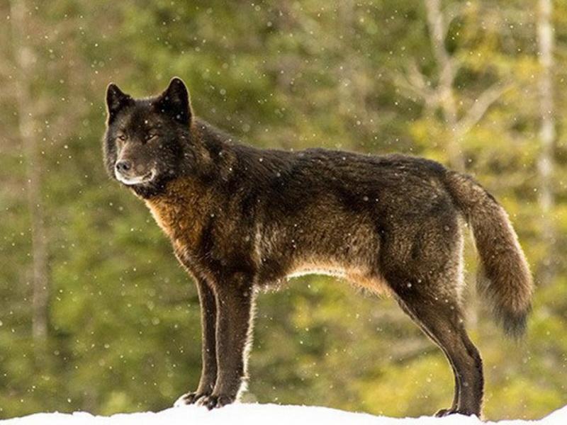 Дикий волк, в честь которого установили мемориал