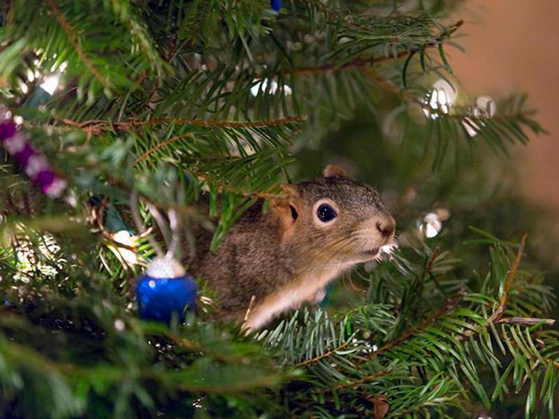 Это самая необычная новогодняя елка, потому что на ней живет настоящая белка!