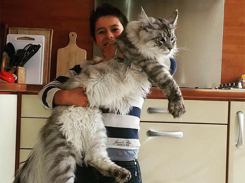 Мейн-кун – самые огромные домашние кошки, которые покорят вас своим обаянием