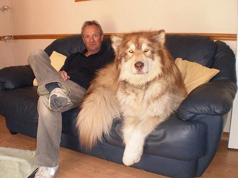 Эти собаки даже не подозревают, насколько они огромны