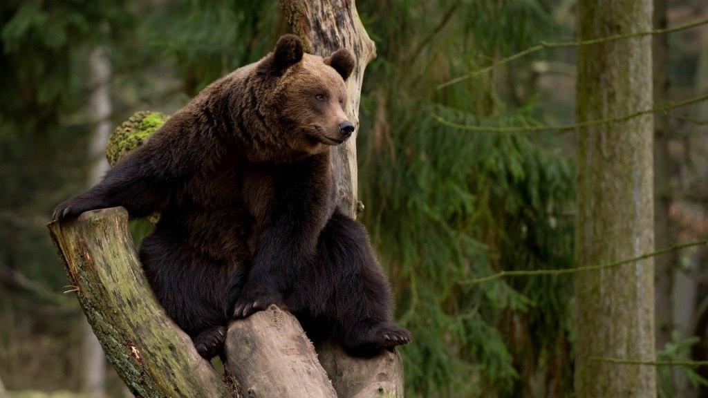 Смешной анекдот про сбежавшего медведя!