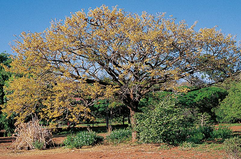 bloodwood-tree-6