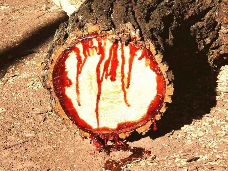 Жуткое «кровавое» дерево дикий тик