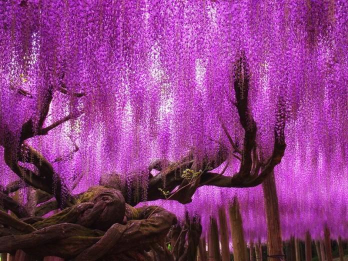 Водопад глициний: красота, которая впечатлит любого!