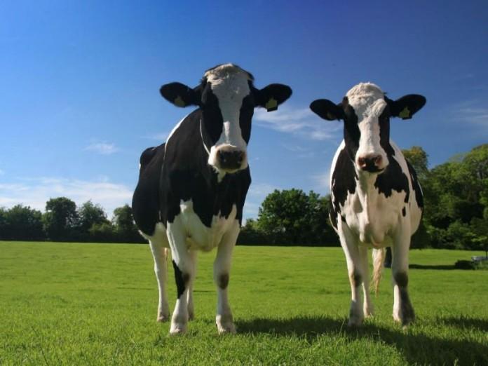 Картинки по запросу коровы