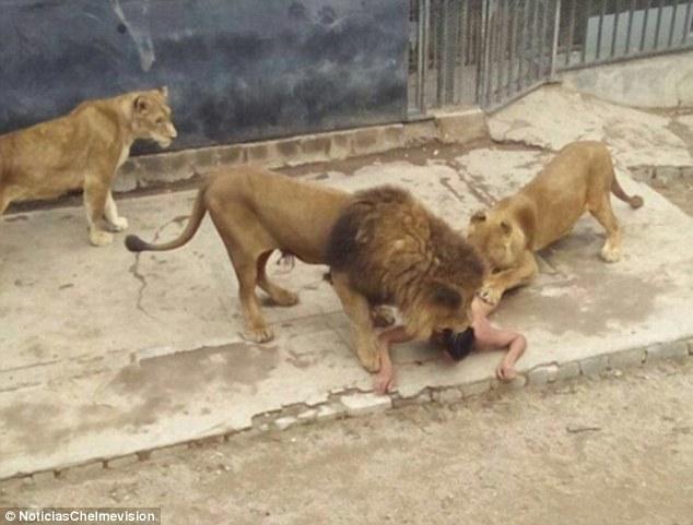 В Чили молодой парень разделся догола и прыгнул в клетку к львам (ФОТО, ВИДЕО)