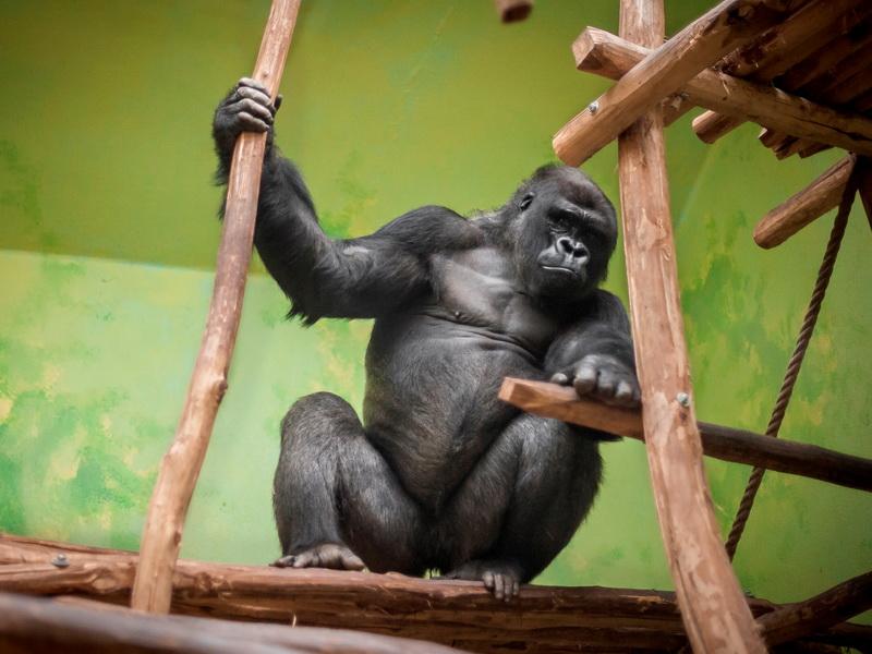Горилла умирала от старости в зоопарке. Решение директора гениально!