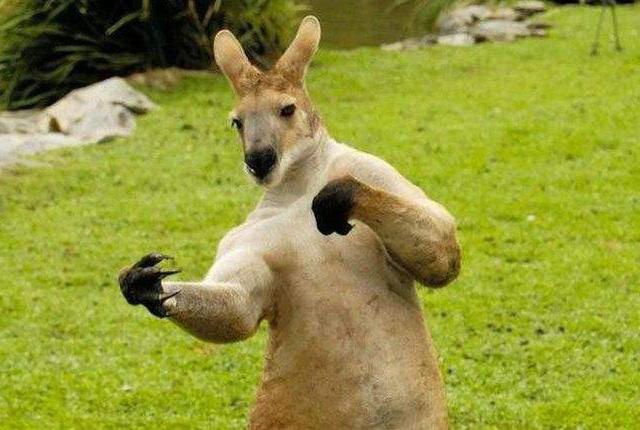 Смешной анекдот о свободолюбивом и неуловимом кенгуру