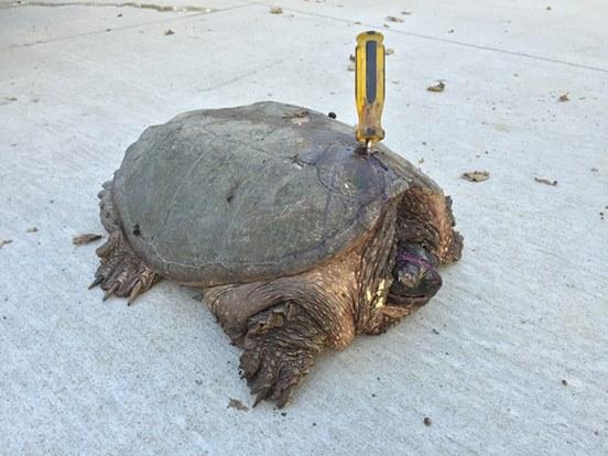 Когда пара увидела, что торчит из панциря черепахи, они были в шоке. Кто мог с ней такое сделать?