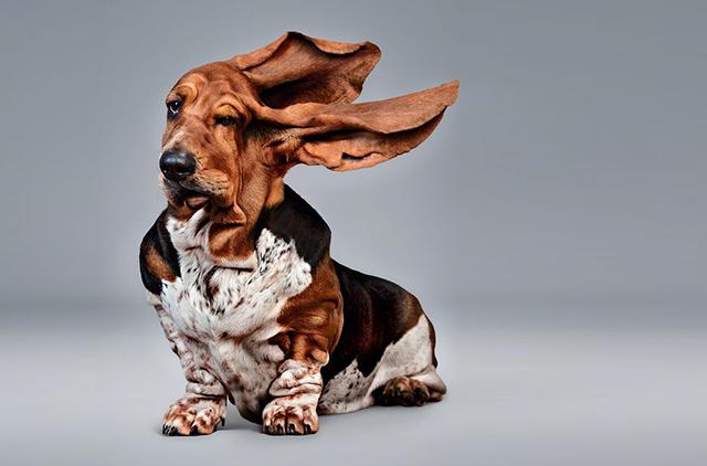 Охотничья собака, несмотря на свою неуклюжесть, проделала необычайный трюк