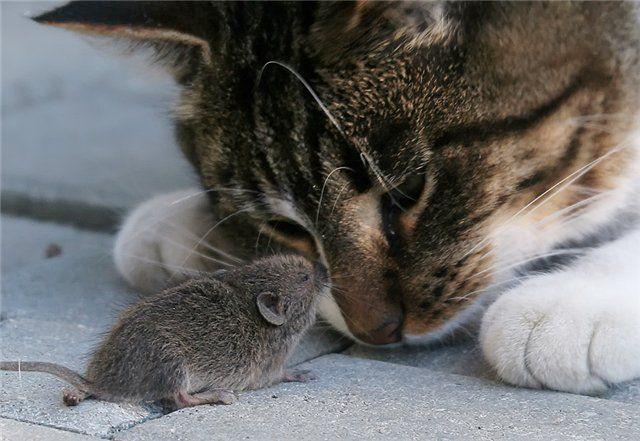 Когда кот принес домой мышь, хозяин был очень удивлен ее состоянием