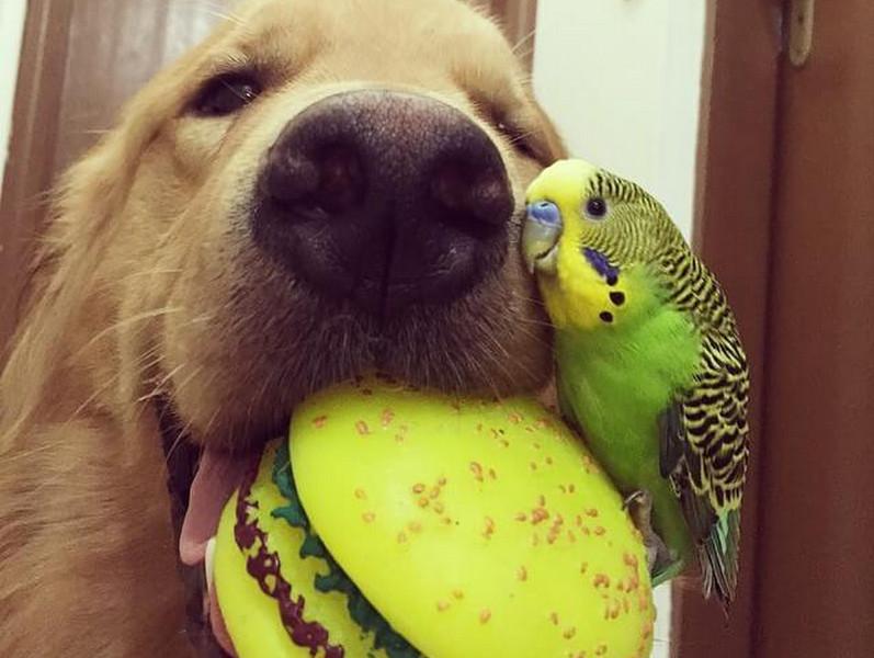 Друзья попросили на время взять попугая. Больше всего не повезло собаке…