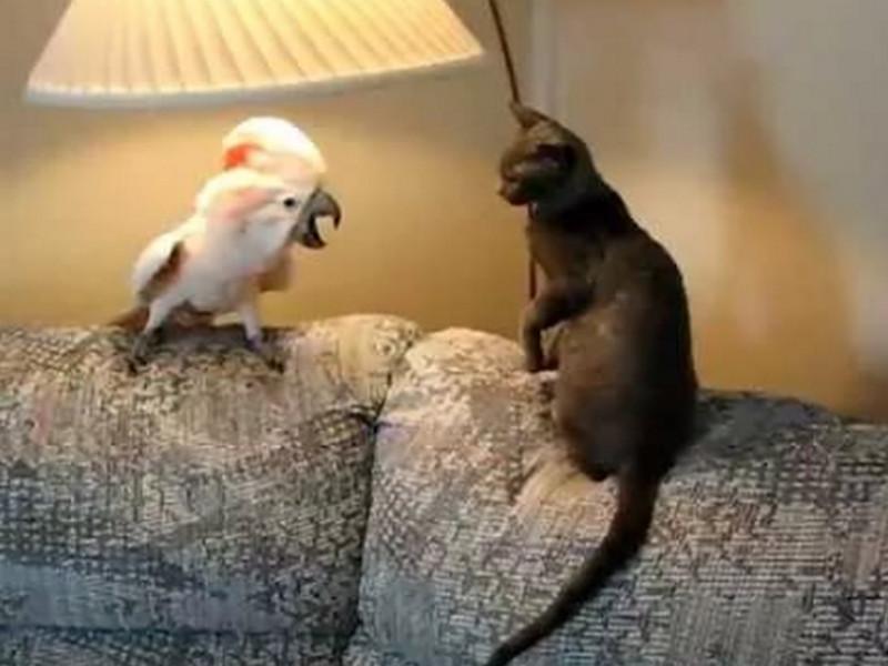 Хозяева забыли покормить кошку. Реакция попугая — просто умора!