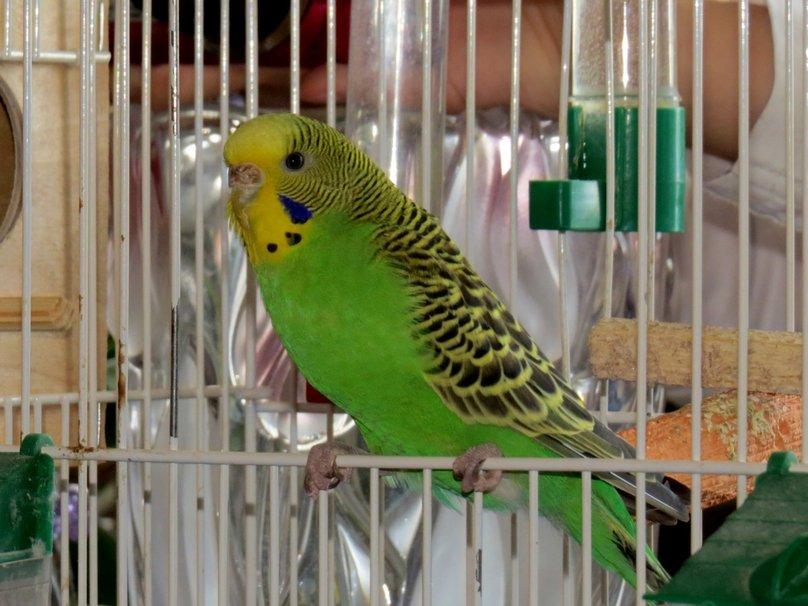 Таможенник говорит туристу, что попугая бесплатно провести можно только в одном случае…Реакция попугая бесценна!