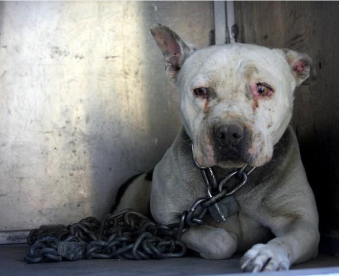 Собака, которая провела всю свою жизнь прикованная к цепи, наконец, получила свободу. Это невероятно!