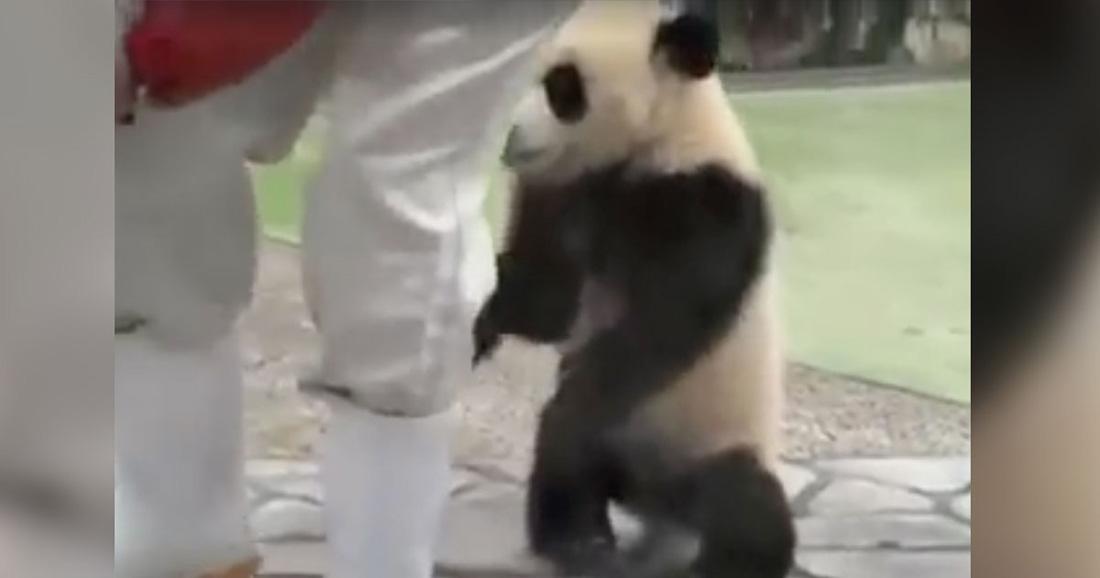 Детеныш панды подкрадывается к фотографу, обнимает его за ноги и отказывается отпускать из своих объятий!