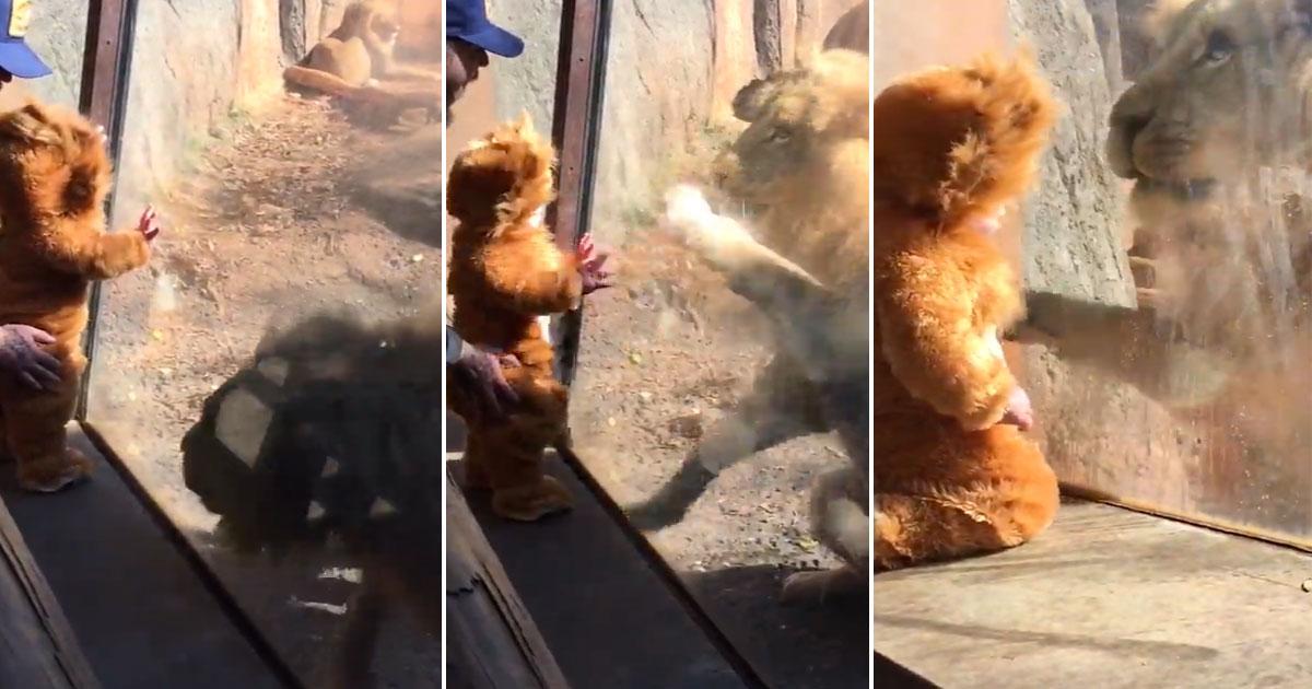 Ребенок, одетый как львенок, посещает зоопарк. Внезапно лев думает, что мальчик один из них!