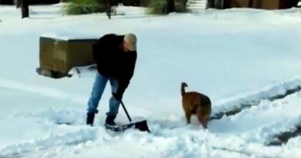 Мужчина пытается сгребать снег. Теперь смотрите, как его собака весело старается помочь ему!
