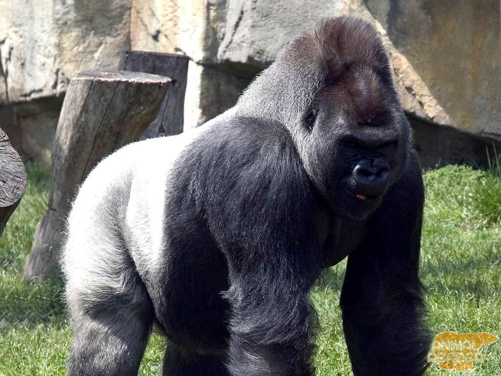 Женщину похищает горилла в зоопарке, но ее реакция на испытание – бунт!