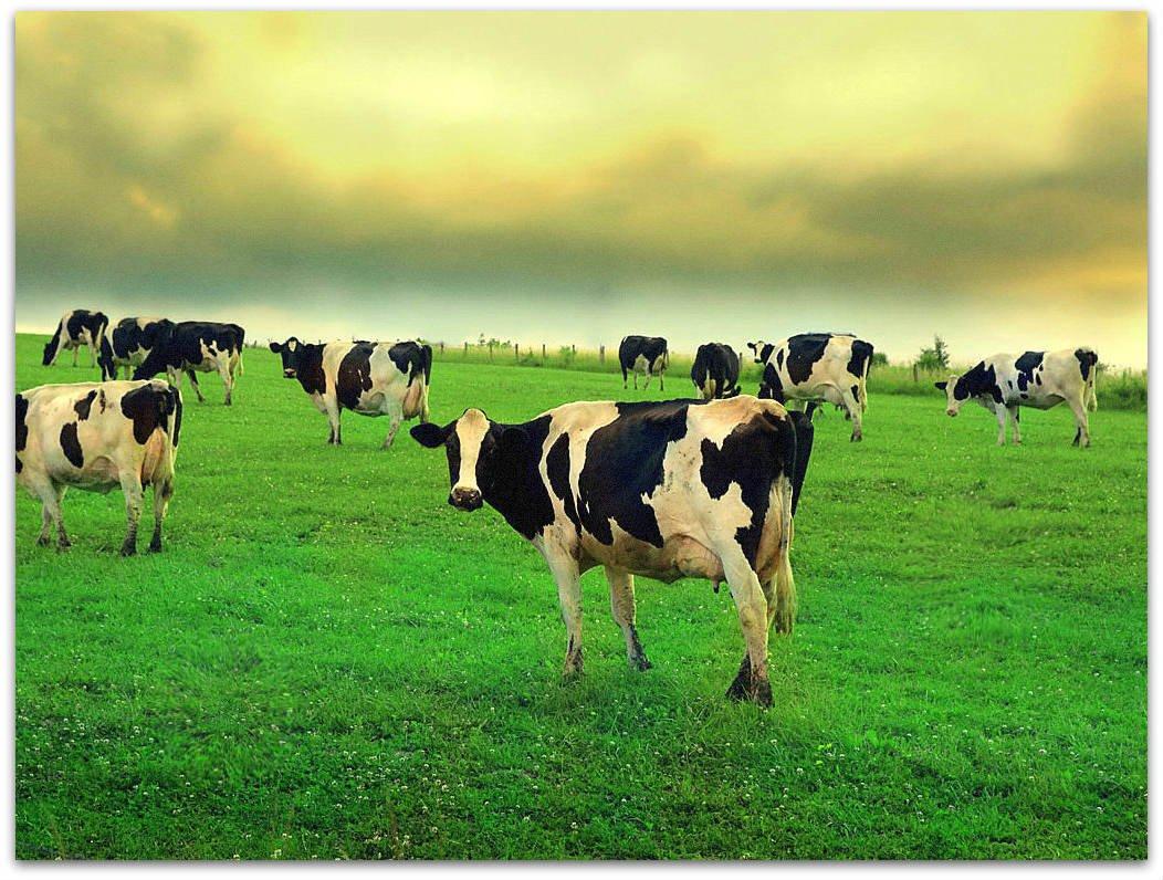 Быки спорят о том, кто получит больше коров, но они не знали, какая встреча им предстоит!