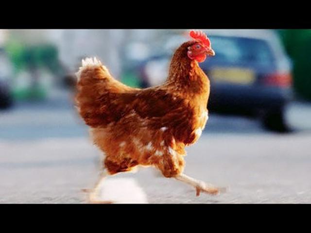 Фермер не мог обезопасить своих цыплят. Но его решение – умопомрачительное!