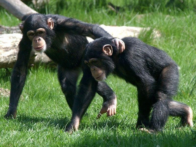 Водитель попросил отвезти этих шимпанзе в зоопарк, но то, что сделала эта девушка – шок!