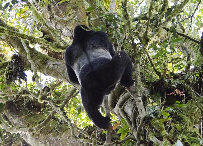 Мужчина обнаружил гориллу у себя на заднем дворе, но предложение военнослужащего – шок!