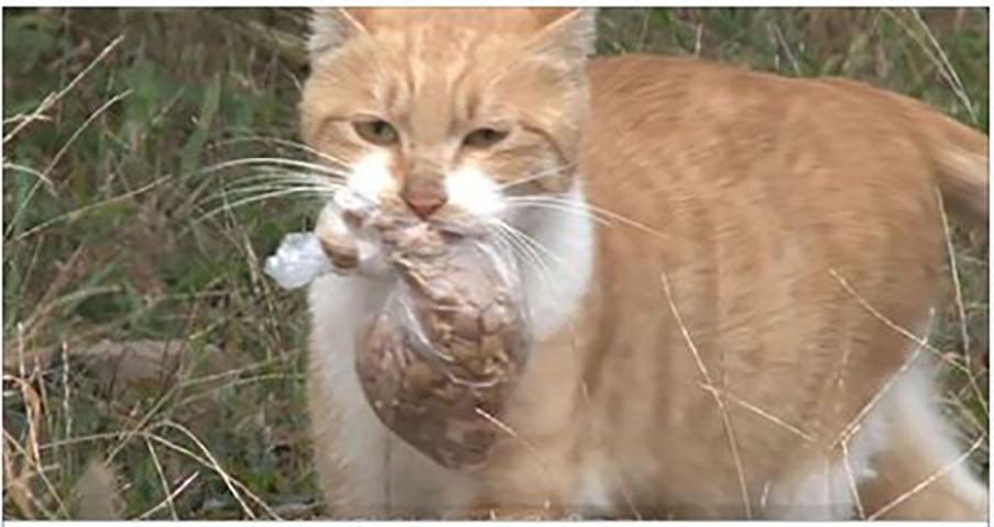 Бродячая кошка отказывается от пищи, если только она не упакована, чтобы она могла ее унести. Но однажды происходит это!