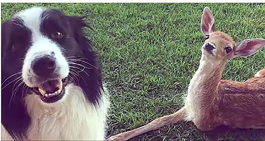 Брошенный олененок найден без ноги. Смотрите, что делают эти собаки с ним!