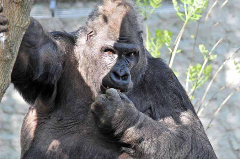 Горилла умирает от старости, но то, что делает руководство зоопарка дальше — гениально!