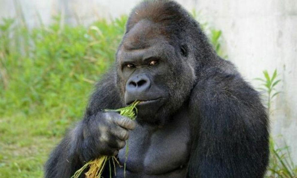Мужчина нашел гориллу у себя на заднем дворе, но предложение работника службы спасения – невероятно!