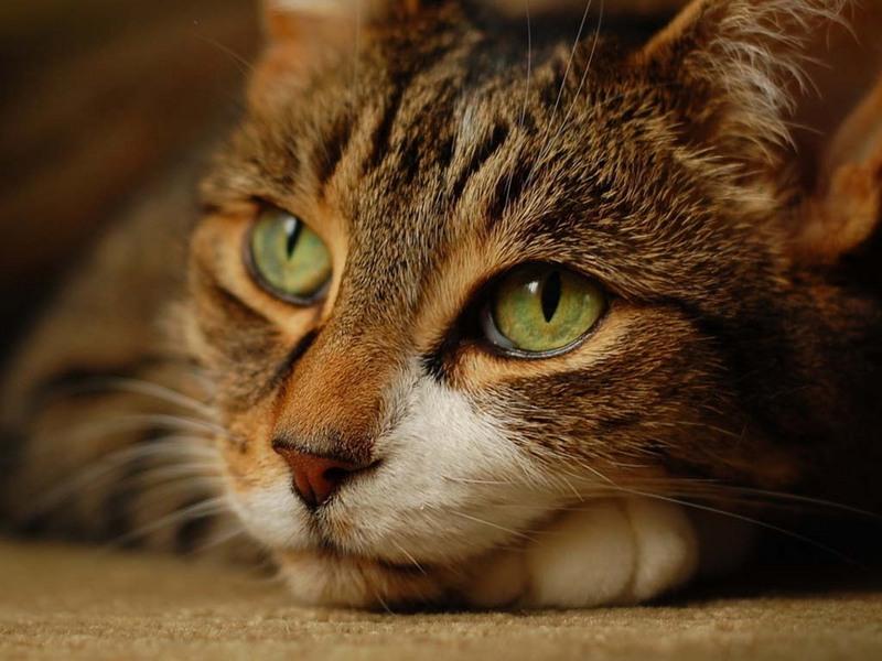 То, как кошка спасла хозяина от наказания — просто нечто!