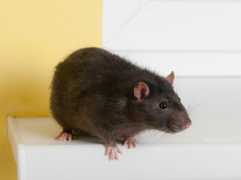 Крысы точно знают толк в ремонте автомобиля!