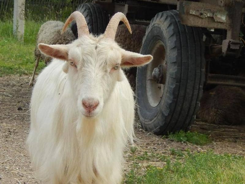 Судьба этой козы оказалась очень грустной!