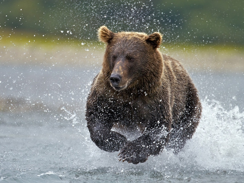 Атеист увидел медведя, гуляя по лесу. То, что он придумал, чтобы спастись – невероятно!