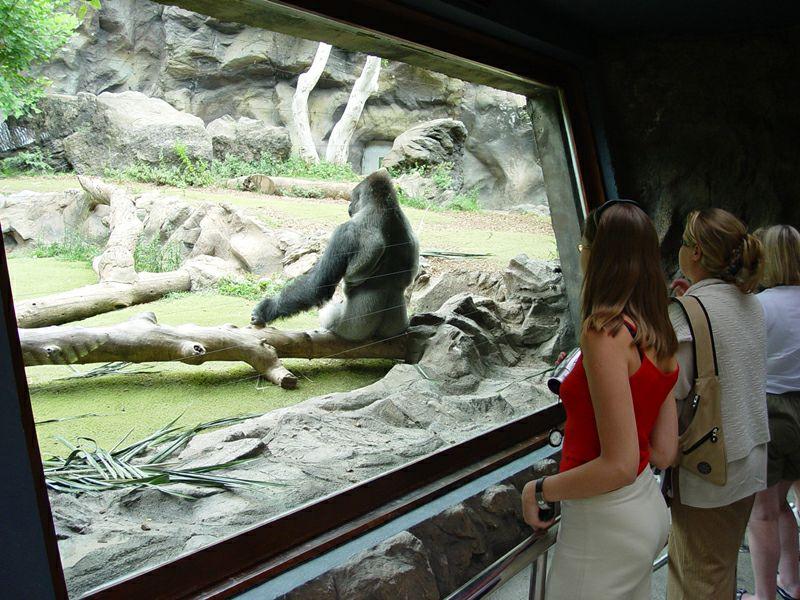 Женщина похищена гориллой в зоопарке, но ее реакция на испытание — это шок!