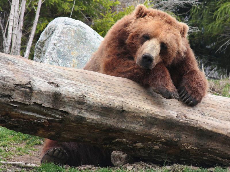 Да уж, опасно работать с ручным медведем! :)