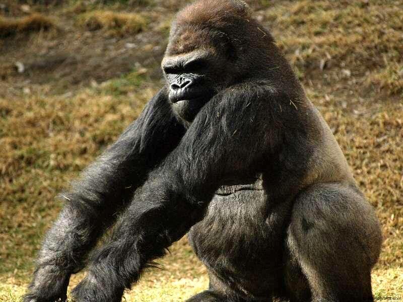 Мужчина находит гориллу на своем заднем дворе, но предложение по ее ловле – это нечто!