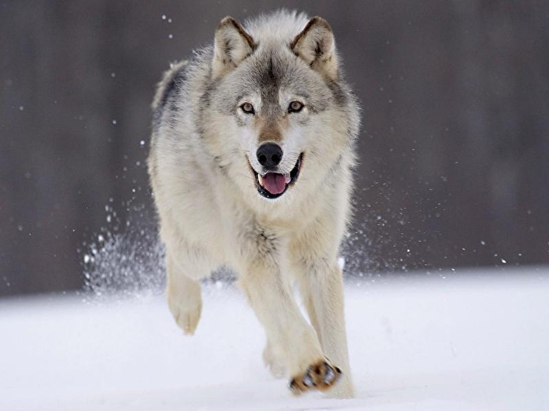 Размышления волков действительно выглядят именно так?! :)