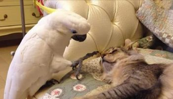 Хитрюшка-попугай научился мяукать, шипеть и эмоционировать. А что делать, жизнь такая!