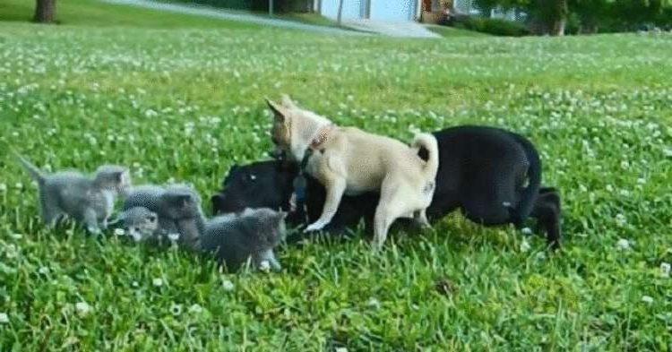 Храброе сердце: Крошечная чихуахуа спас котят от огромной собаки