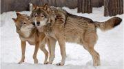 Волки помогли принять роды у беременной женщины во время бури