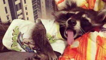 Фотографии, которые показывают, что еноты — милые и ласковые животные в мире