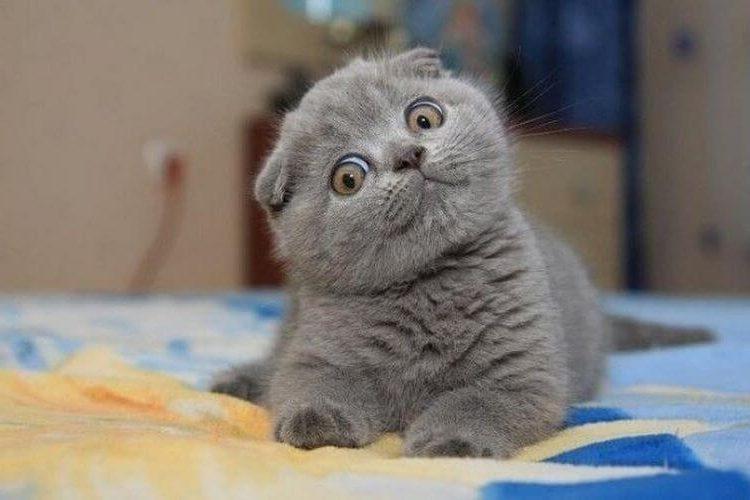 5 самых-самых умных и милашных пород кошек